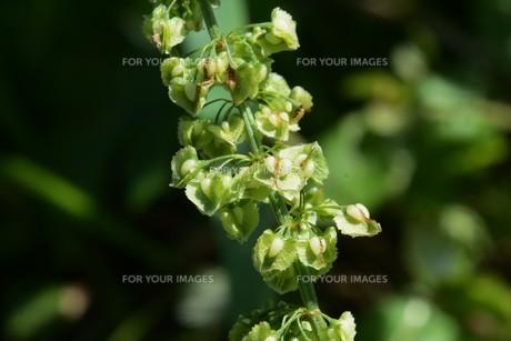 ギシギシ(羊蹄草)の果実 ・ タデ科の雑草 若芽は食用 根は薬用の写真素材 [FYI01215936]