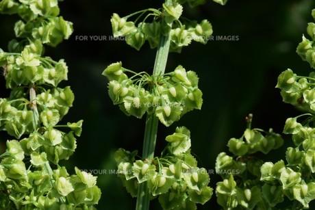ギシギシ(羊蹄草)の果実 ・ タデ科の雑草 若芽は食用 根は薬用の写真素材 [FYI01215937]