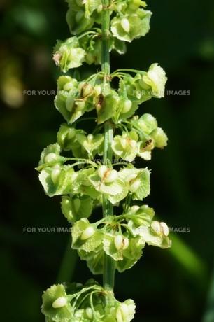 ギシギシ(羊蹄草)の果実 ・ タデ科の雑草 若芽は食用 根は薬用の写真素材 [FYI01215938]