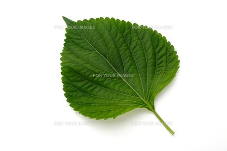 エゴマの葉の写真素材 [FYI01215972]