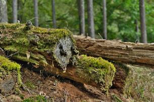 苔の生えた木の写真素材 [FYI01216014]