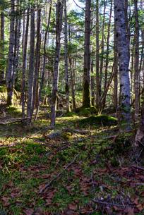 白樺と苔生した森 縦構図の写真素材 [FYI01216043]