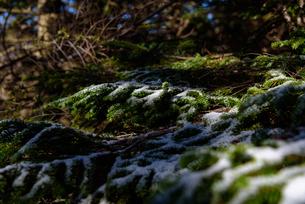 うっすらと雪の乗った針葉樹の写真素材 [FYI01216049]