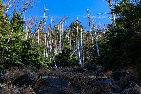 火山の溶岩石と立ち枯れの森の写真素材 [FYI01216050]
