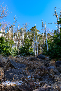 火山の溶岩石と立ち枯れの森 縦構図の写真素材 [FYI01216051]