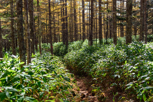 熊笹の登山道と奥に見える色づいた木々の写真素材 [FYI01216076]