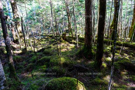 苔むした森の写真素材 [FYI01216082]