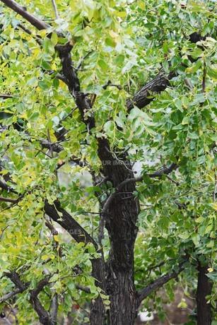 ナツメ(棗)・ 実は食用・薬用 木質は硬く工芸品の材料の写真素材 [FYI01216083]