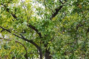 ナツメ(棗)・ 実は食用・薬用 木質は硬く工芸品の材料の写真素材 [FYI01216084]