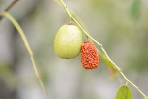 ナツメ(棗)・ 実は食用・薬用 木質は硬く工芸品の材料の写真素材 [FYI01216086]