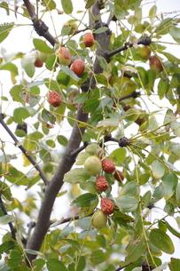 ナツメ(棗)・ 実は食用・薬用 木質は硬く工芸品の材料の写真素材 [FYI01216087]