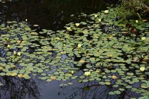 ミズヒナゲシ(水雛芥子)・ 南米原産の水生植物の写真素材 [FYI01216097]