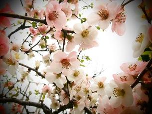 桜の写真素材 [FYI01216244]