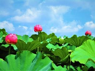 ハスの花のつぼみの写真素材 [FYI01216402]