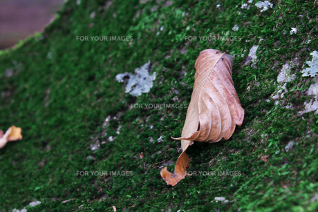 落ち葉の写真素材 [FYI01216471]
