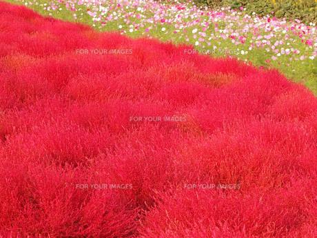 真っ赤なコキアとコスモスの写真素材 [FYI01216503]