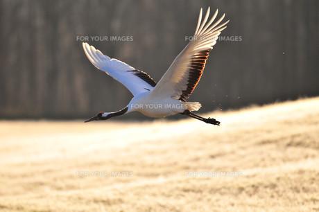 飛翔の写真素材 [FYI01216527]