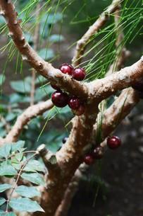 ジャボチカバ ・ 果実が直接幹に結実。の写真素材 [FYI01216854]
