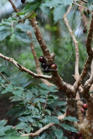 ジャボチカバ ・ 果実が直接幹に結実。の写真素材 [FYI01216856]