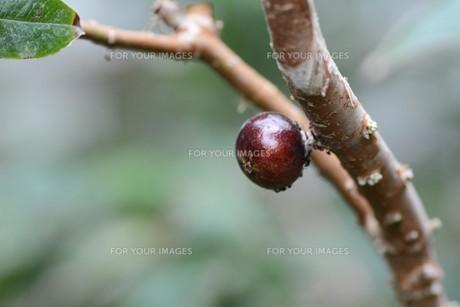 ジャボチカバ ・ 果実が直接幹に結実。の写真素材 [FYI01216857]