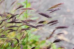 コブナグサ(小鮒草)・ 黄八丈の染料の写真素材 [FYI01216886]
