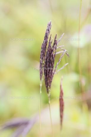 コブナグサ(小鮒草)・ 黄八丈の染料の写真素材 [FYI01216887]