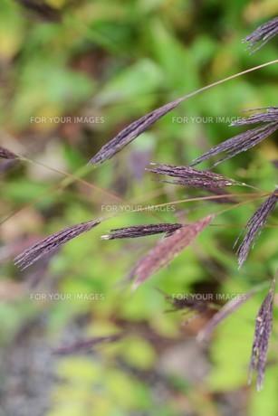 コブナグサ(小鮒草)・ 黄八丈の染料の写真素材 [FYI01216888]