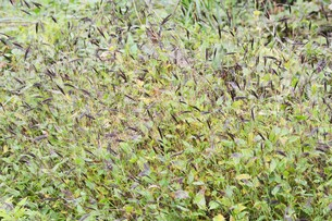 コブナグサ(小鮒草)・ 黄八丈の染料の写真素材 [FYI01216889]