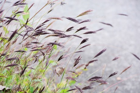 コブナグサ(小鮒草)・ 黄八丈の染料の写真素材 [FYI01216890]