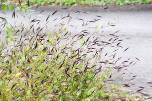 コブナグサ(小鮒草)・ 黄八丈の染料の写真素材 [FYI01216891]