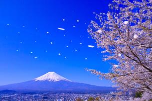 新倉山ハイキングコースから見る満開の桜と富士山(桜吹雪のイメージ)の写真素材 [FYI01216902]
