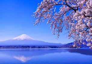 春の河口湖、満開の桜と富士山の写真素材 [FYI01216903]
