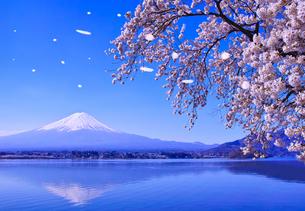 春の河口湖、満開の桜と富士山(桜吹雪のイメージ)の写真素材 [FYI01216904]