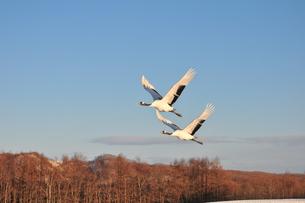 翼を並べて飛翔する丹頂の写真素材 [FYI01216918]