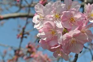 河津桜の写真素材 [FYI01216954]