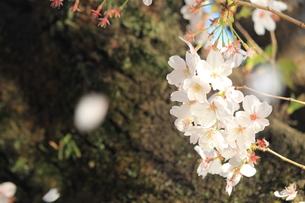 桜の写真素材 [FYI01216955]
