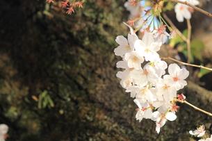 桜の写真素材 [FYI01216956]