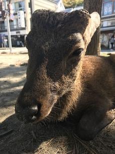 鹿の休息の写真素材 [FYI01217042]