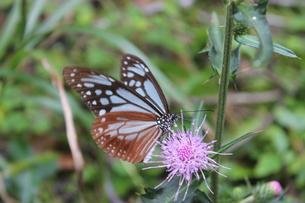 蝶々と花の写真素材 [FYI01217094]