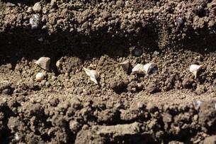 ホウレンソウの種まきと発芽の写真素材 [FYI01217142]