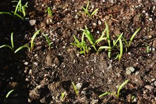 ホウレンソウの種まきと発芽の写真素材 [FYI01217143]