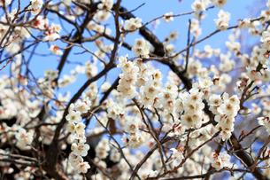 早春に咲く梅の花の写真素材 [FYI01217426]