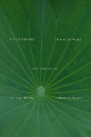 ハスの葉の写真素材 [FYI01217464]