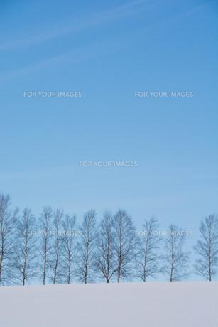 冬の青空とシラカバ並木 美瑛町の写真素材 [FYI01217799]