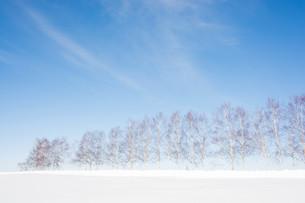 雪の丘とシラカバ並木 美瑛町の写真素材 [FYI01217802]