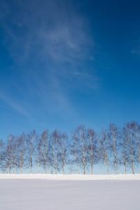 雪の丘とシラカバ並木 美瑛町の写真素材 [FYI01217803]
