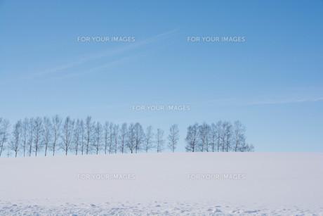 雪の丘とシラカバ並木 美瑛町の写真素材 [FYI01217804]