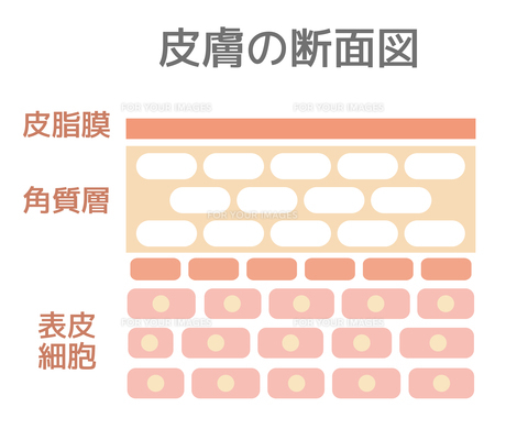 皮膚の断面図のイラスト素材 [FYI01217943]