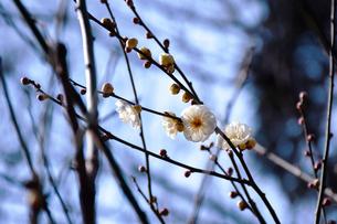 梅の木の写真素材 [FYI01218077]
