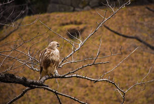 黄昏鷹の写真素材 [FYI01218080]
